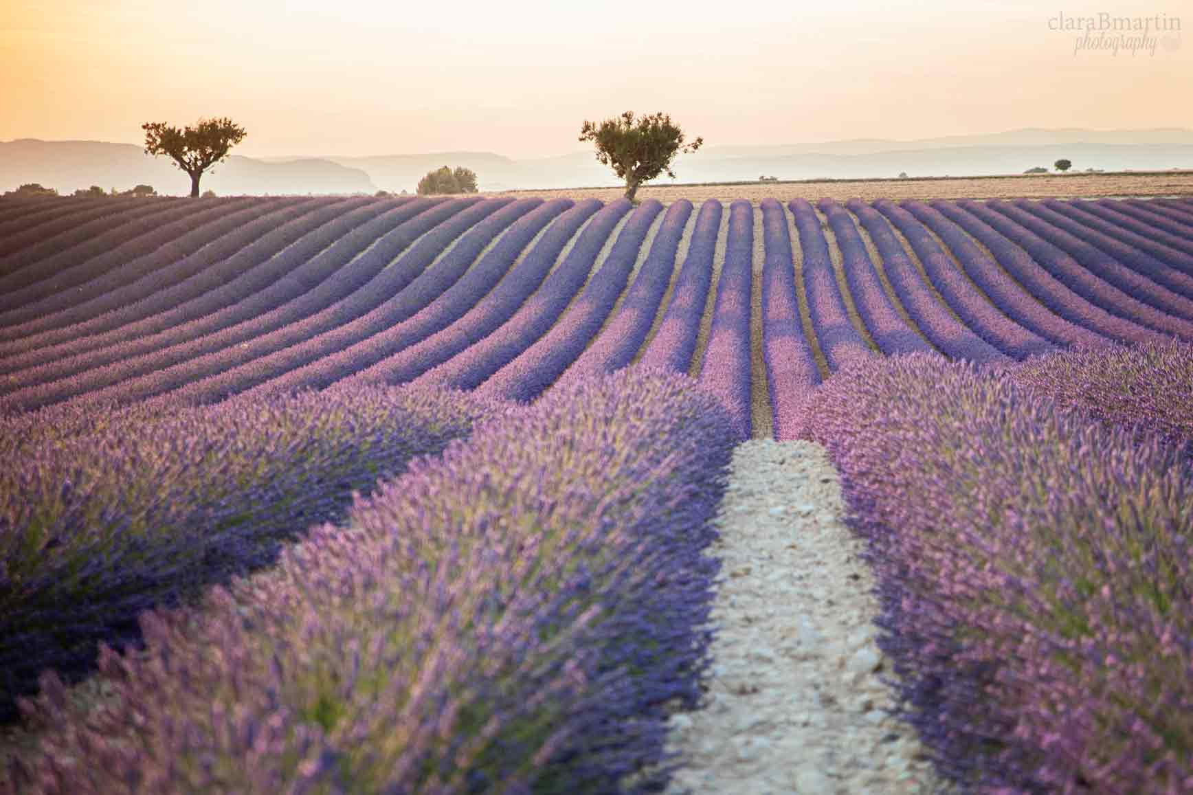 Lavender-fields-Provence-claraBmartin13