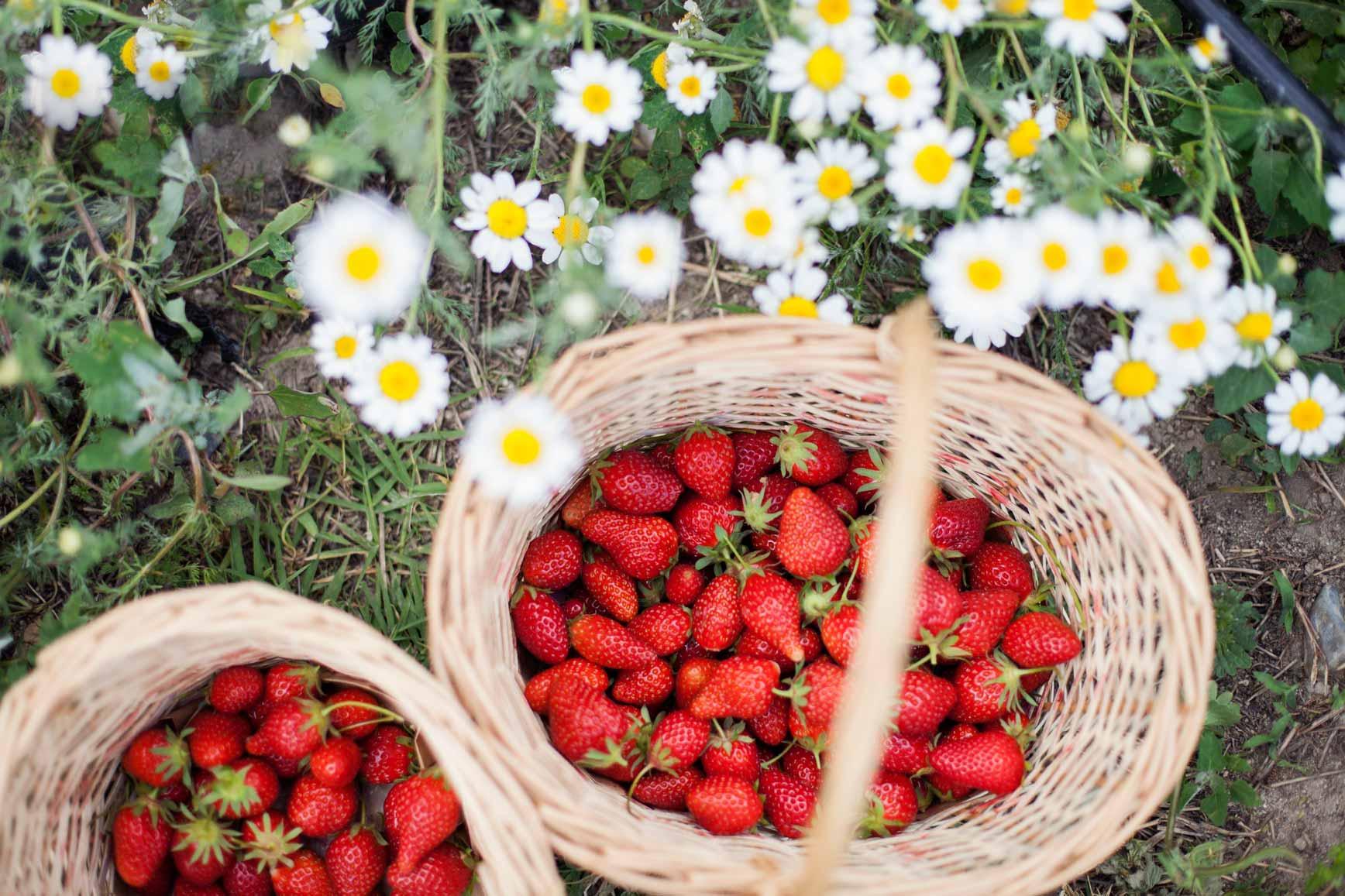 Recolecta de fresas ecológicas en Madrid